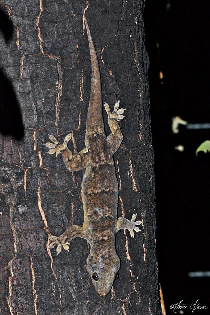 A maior lagartixa da Caatinga, Phyllopezus periosus