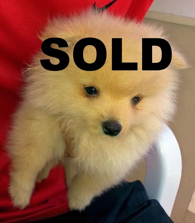 Pomeranian Puppies for Sale Cebu Philippines