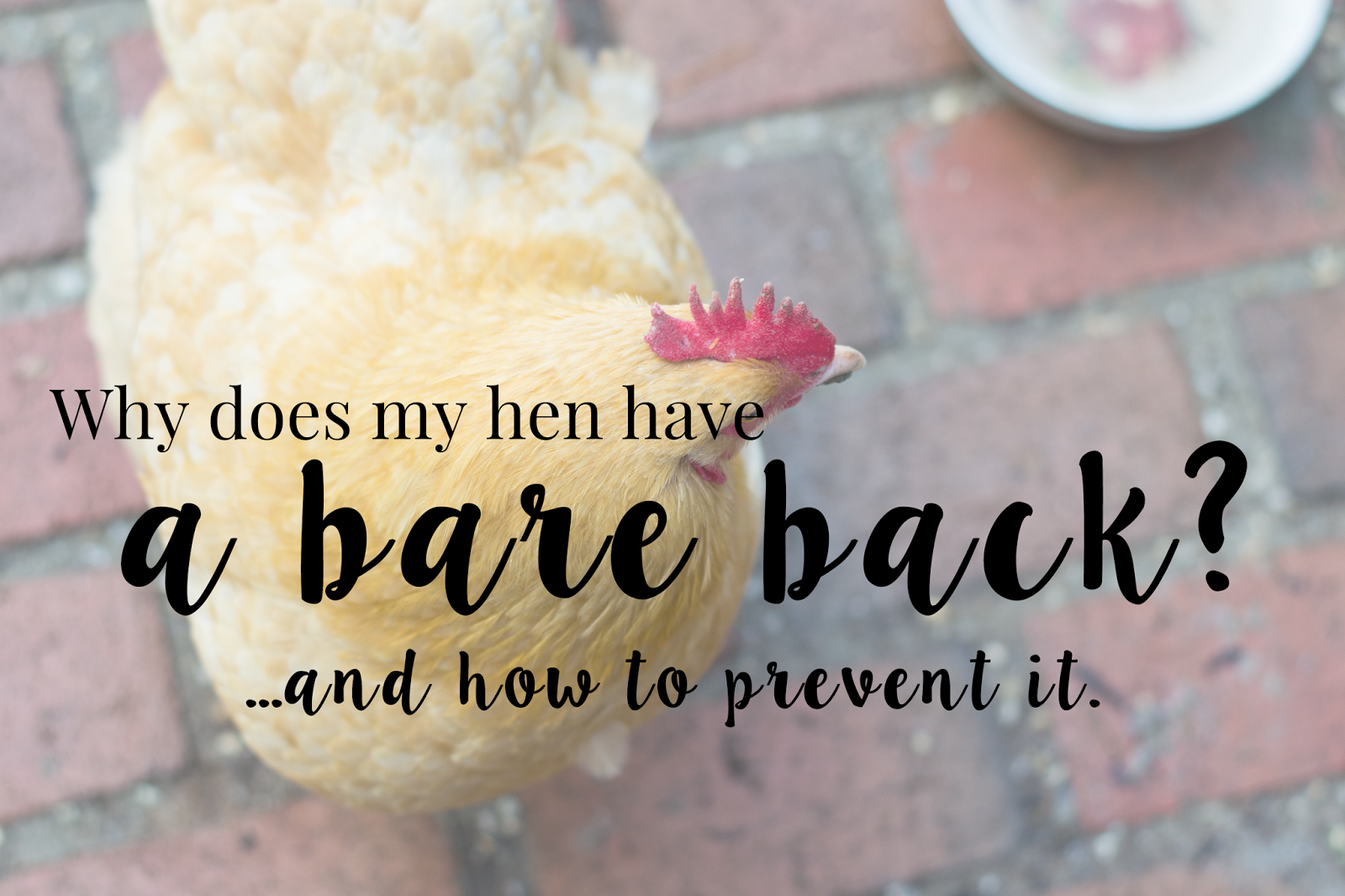 Why does my hen have a bare back...and how to prevent it