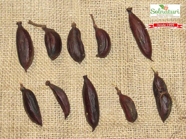 Acacia caven Espinillo Aromito fruto