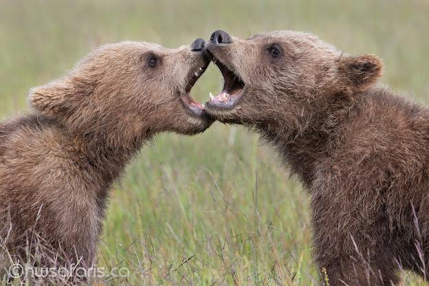 Brown Bear Spring Cubs Playing