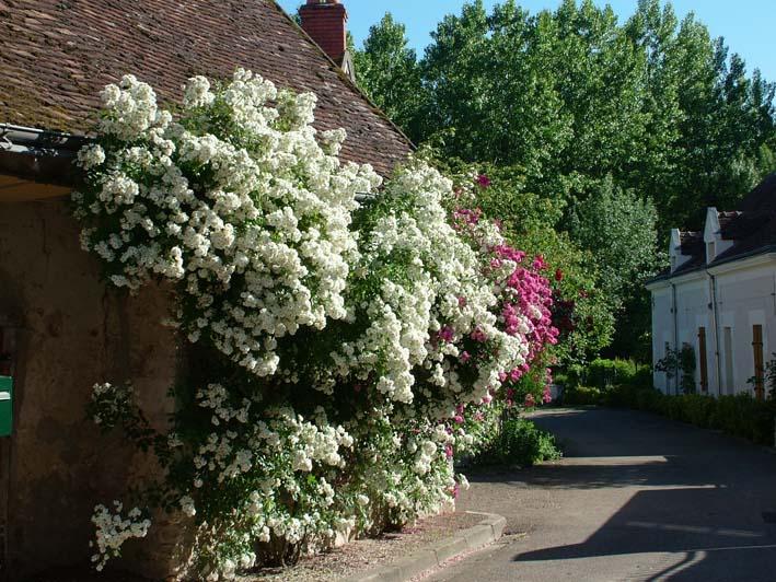 Visite Village Jardin Chedigny : Promesse de roses en touraine festival des à ch� digny