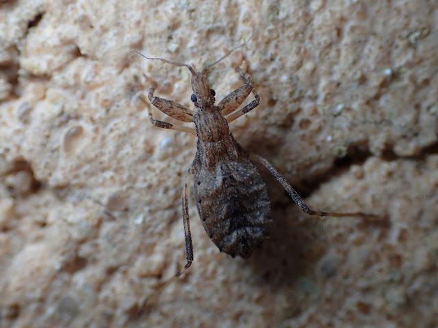Oncocephalus sp
