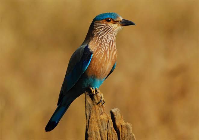 दशहरा के दिन करें पक्षी के दर्शन  घर मे आता है सौभाग्य धन की नही होती कोई कमी पृथ्वी में है शिव के  प्रतिनिधि के रूप मे