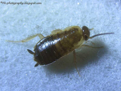 American Cockroach Baby Image
