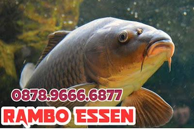Rambo Essen Ikan Mas Harian