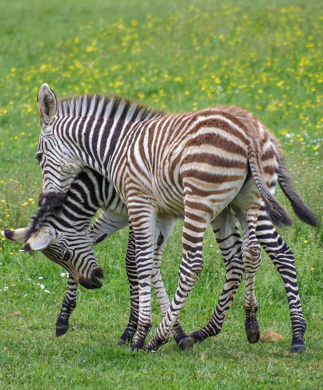 Two young zebras enjoy playing.