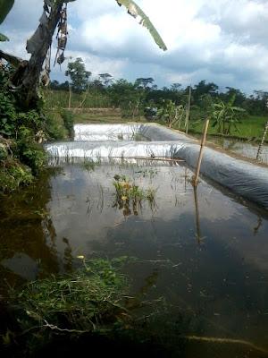 budidaya ikan kolam tanah di sawah (mina padi)