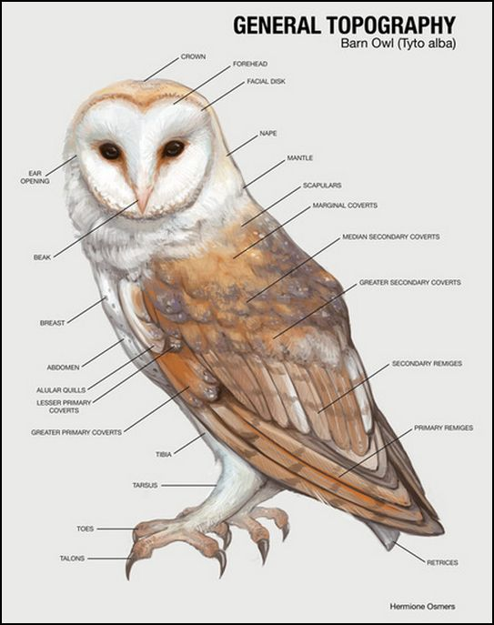 snowy owl adaptations diagram cuts of lamb barn wiring schematic family