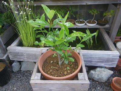 クチナシ 鉢植え