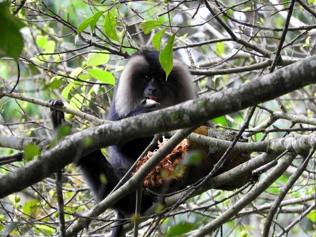 Lion Tail Macaque | Valparai (May 2016)