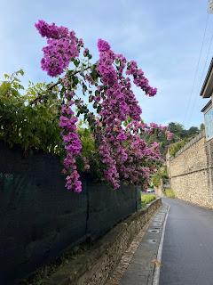 A bougainvillea on Via Sudorno.
