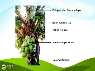 Kavling Kelapa Kebun di Kalimantan - Investasi Kavling Produktif Grand Coco Village