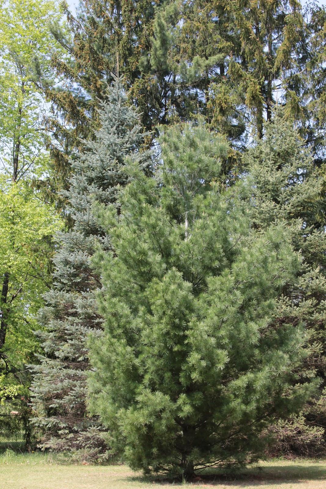 Detox Our World: Pine Tree Pollen: Friend or Foe?