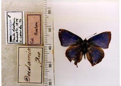 Mariposa azurita (Cyanophrys remus)