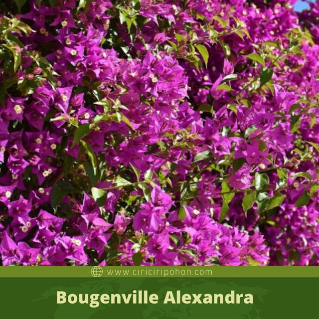 Ciri Ciri Pohon Bougenville Alexandra
