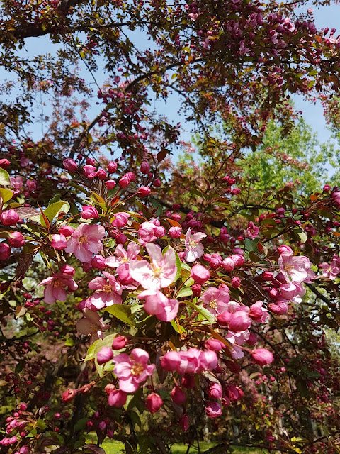 Pink Flowering crabapple trees, The Camellia Thunder Bay