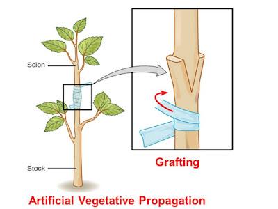 pembiakan tanaman dengan cara sambung pucuk