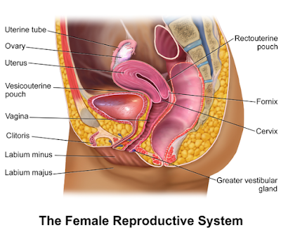 Female reproductive organs, sectional view