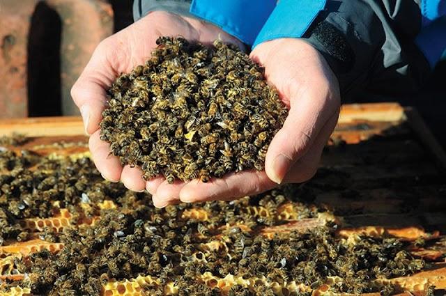 Το 《γάλα》 αμυγδάλου ΔΕΝ δολοφονεί τις μέλισσες!
