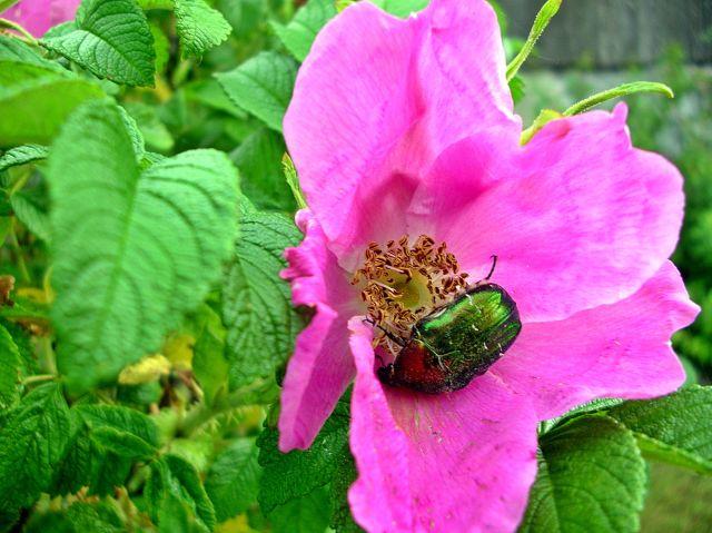 owad, zbieranie, kwiat, krzew