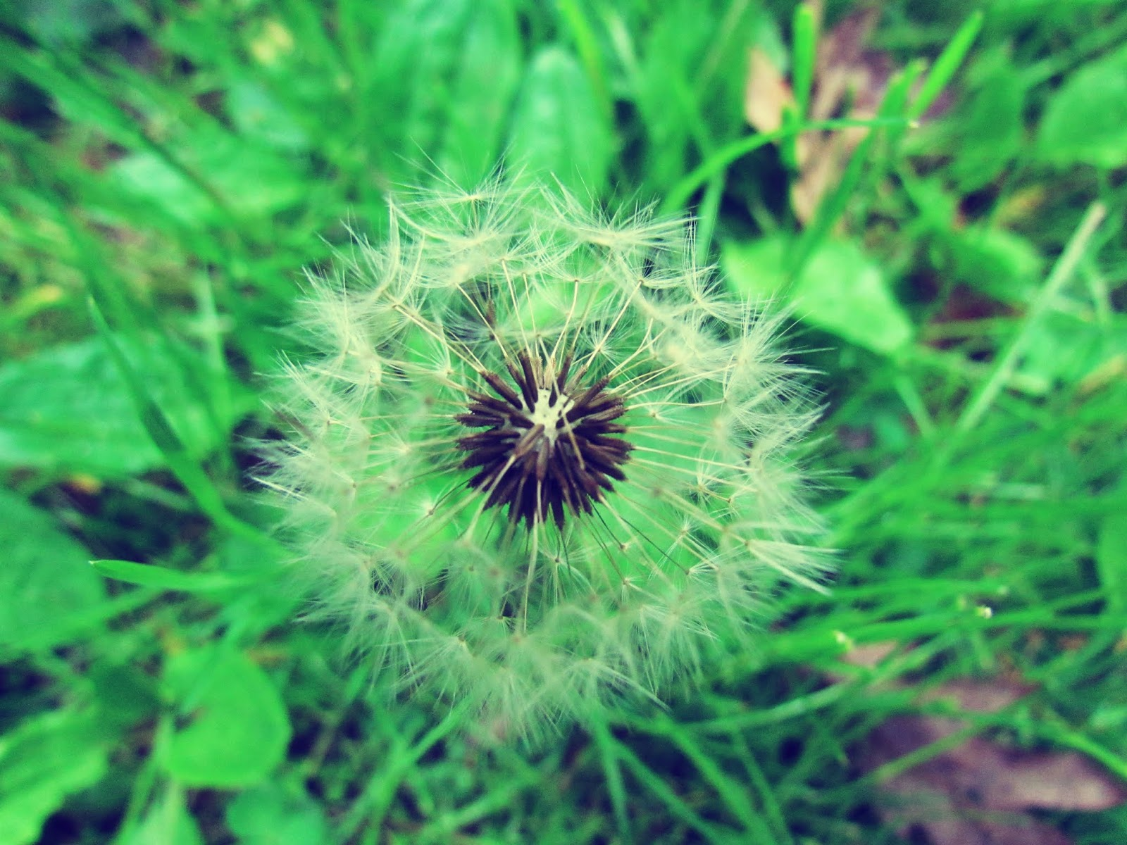 Make a Wish Dandelion in the Tall Grass + Dandelion Seeds in Summertime