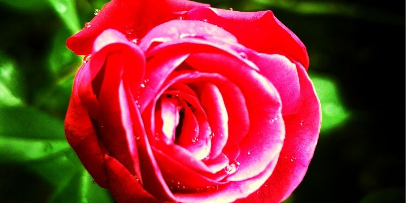 Red Rose Images HD