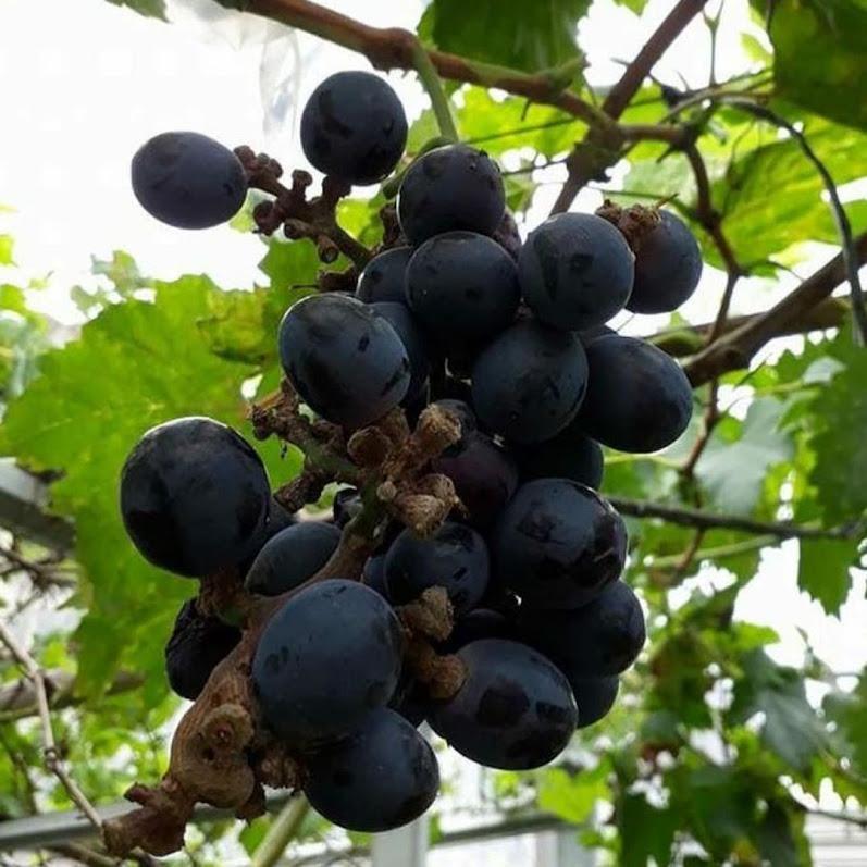 Bibit anggur black panther VALID Pekanbaru