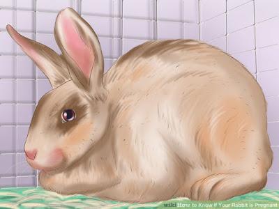 Cara mengetahui tanda ciri kelinci hias anda sedang hamil dan akan melahirkan