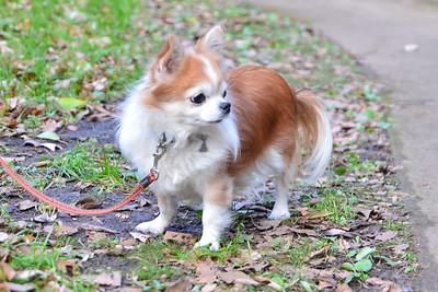 كلب الشيواوا طويل الشعر