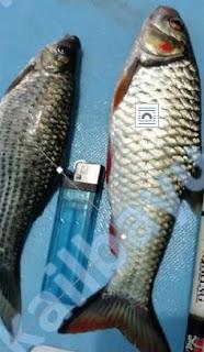 memancing ikan derbang