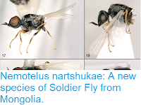 https://sciencythoughts.blogspot.com/2018/12/nemotelus-nartshukae-new-species-of.html