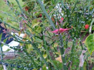 Pantouflier - Pantoufle - Euphorbia tithymaloides