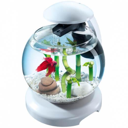 аквариумные петушки рыбка