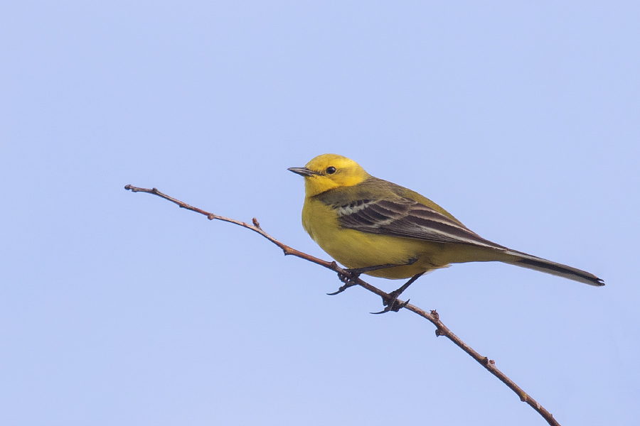 Yellow Wagtail photographed at Reculver in Kent