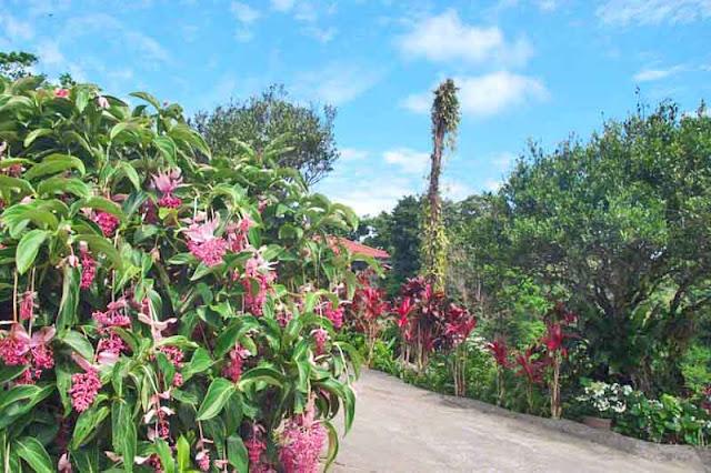 flowers, gardens, Hydrangea, Ajisai, Okinawa
