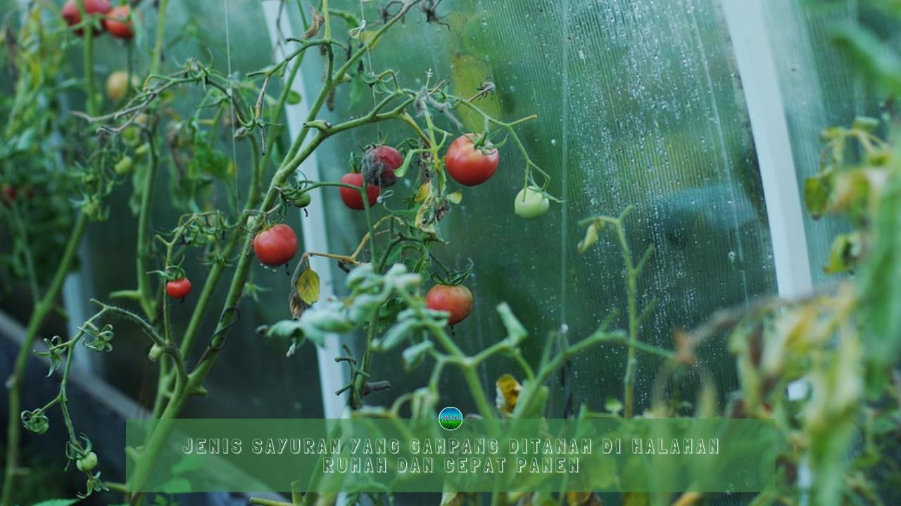 Sayuran Gampang Ditanam Di Halaman Rumah