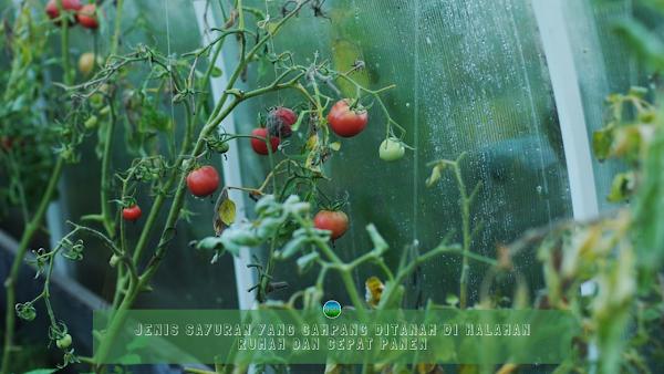 Jenis Sayuran yang Gampang Ditanam Di Halaman Rumah dan Cepat Panen