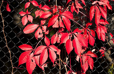 red-leaves-nice-hdwallpaperss-imgs