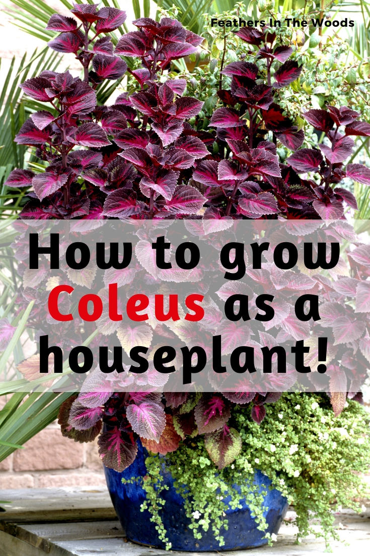 Coleus The Most Colorful Houseplant Feathers In The Woods