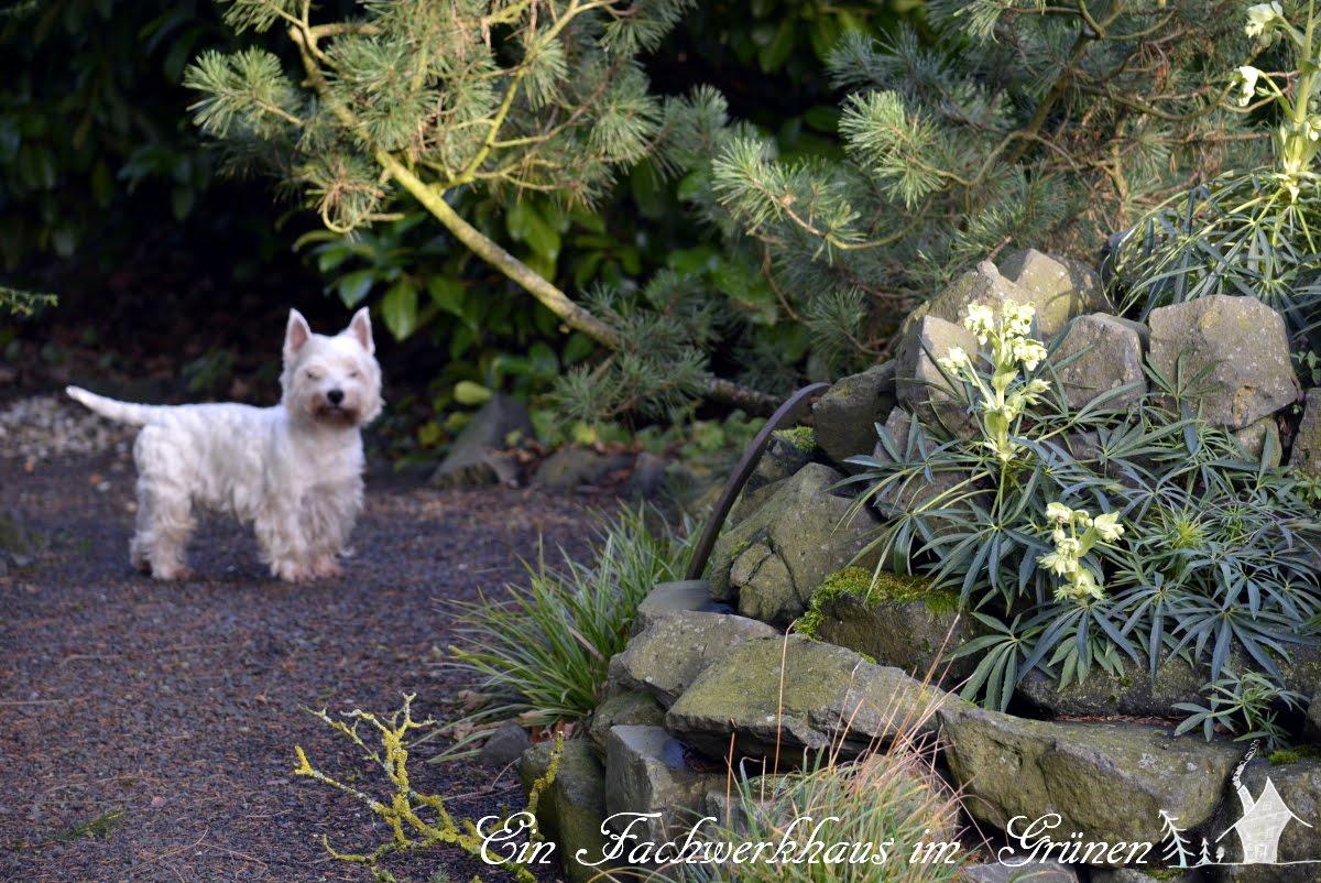 stinkende Nieswurz, Helleborus, West Highland Terrier