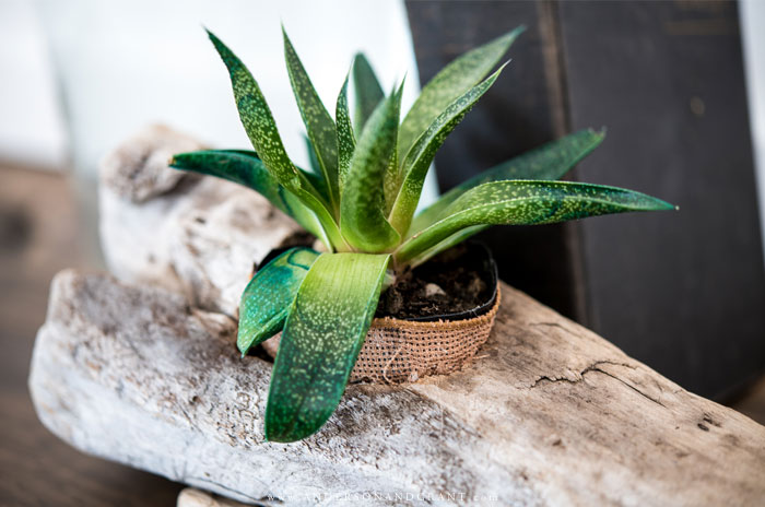 Driftwood planter with green succulent