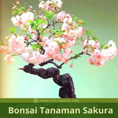 Ciri Ciri Tanaman Bonsai