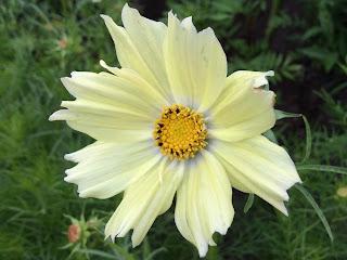 Cosmea bipinnatus 'Xanthos'