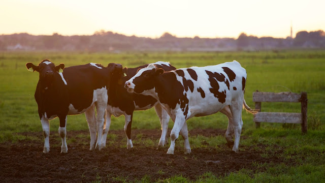 three black and white cows
