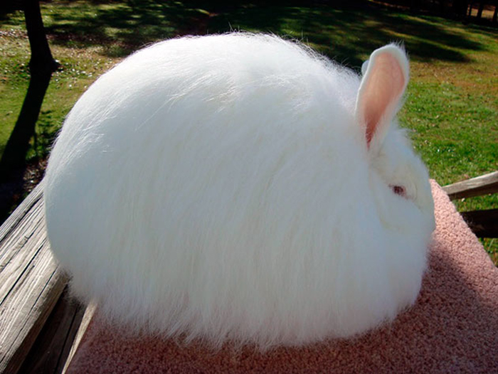 angora rabbit pet, angora rabbit, angora bunny, english angora rabbit, english angora, angora rabbits, angora rabbit breed, giant angora rabbit, french angora rabbit, types of angora rabbits, german angora rabbit, english angora rabbits, angora lop rabbit, french angora, english angora bunny, giant angora, rabbit profiles, mini angora rabbit, baby angora rabbit, angora show bunnies, angora lop, angora rabbit facts, angora rabbit behavior, giant angora bunny, angora rabbit scientific name, fluffiest rabbit breed, german angora, white angora rabbit, world's fluffiest bunny, fluffiest bunny, fluffiest bunny in the world, angora rabbit fluffy, big fluffy bunny, super fluffy bunnies, angora rabbit fluffy, fluffy bunny breed, fluffy rabbit breeds, cute fluffy bunnies, wool rabbit breeds, angora rabbit images, softest bunny breed, softest rabbit breed,