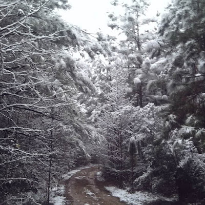heavy snow covers southern pines in Kisatchie National Forest, Louisiana
