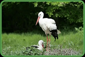 white strok with baby,ecological nich