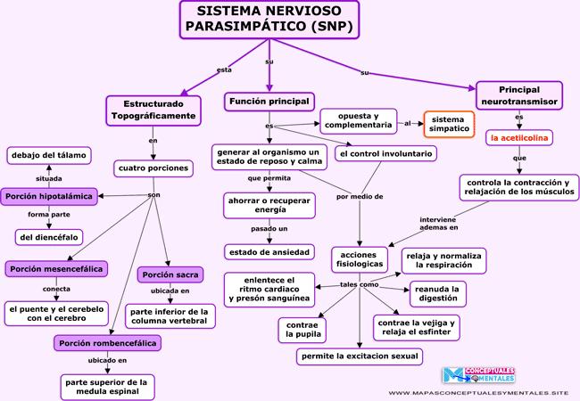 Mapa conceptual del sistema nervioso parasimpático