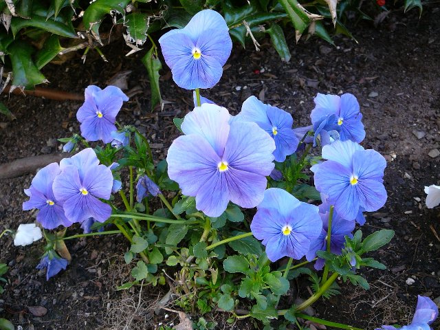 Types Of Purple Blue Flowers